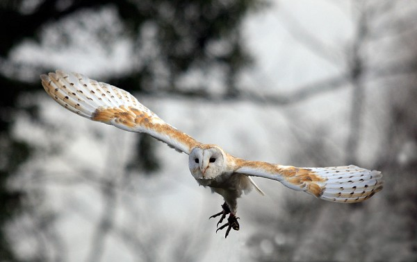 Barn Owl in Flight by John Lenehan