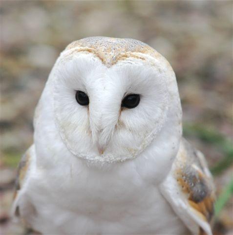 Barn Owl - Lilo