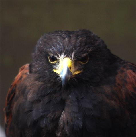 Harris Hawk - Bomber