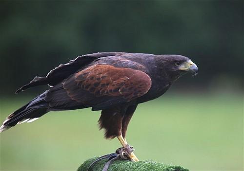 Harris Hawk Skye