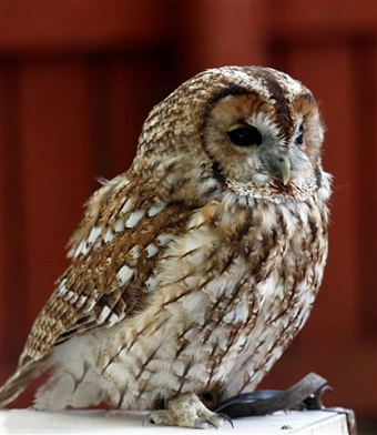 Knowley - The Tawny Owl