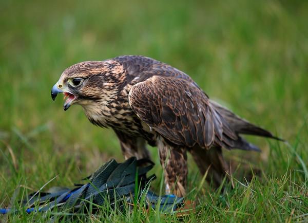 Dora Peregrine Falcon by John Lenehan