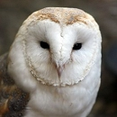 Barny The Barn Owl