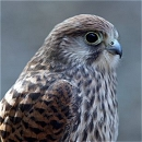 Kissy The Kestrel