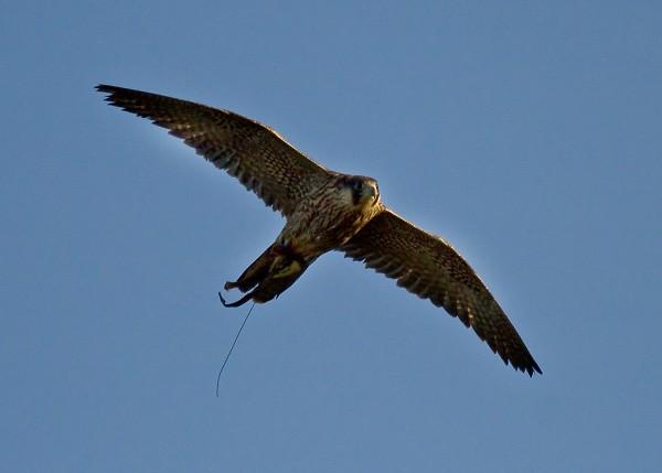 Dora - Peregrine Falcon