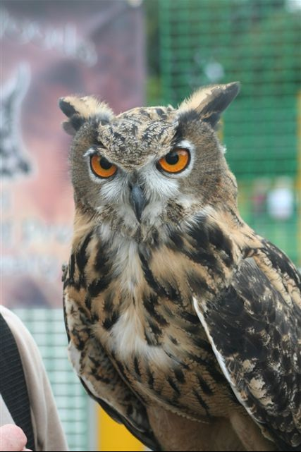 Checkers Eurasian Eagle Owl