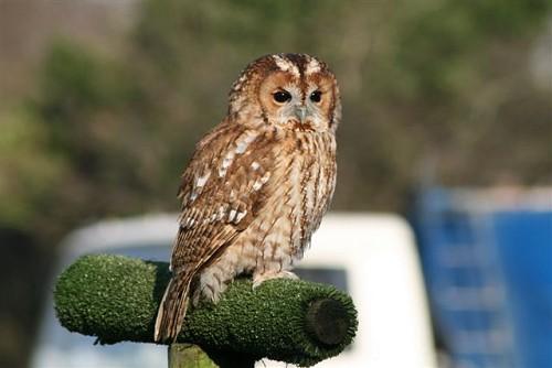 Tawny Owl - Knowley