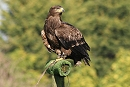 Albert the Steppe Eagle - Perched