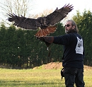 Charlie - Red Tail Hawk