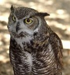 Dibble - Great Horned Owl