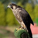 Dora the rescued Peregrine Falcon