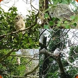 Rescue Owls