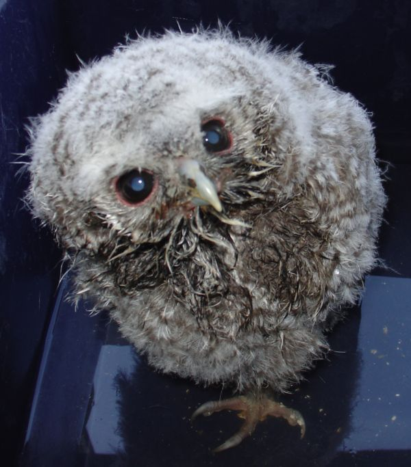 Vic The Tawny Owlet