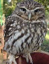 Olly The Little Owl