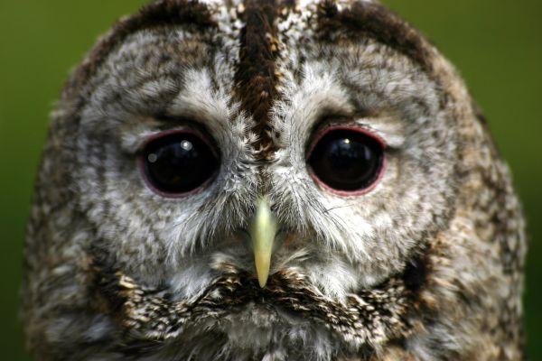 Vic the Tawny Owl