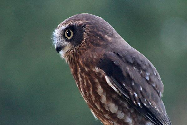 Coco - Boobook Owl