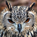 Eurasian Eagle Owl Part 2