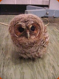 Orphan Tawny Owl