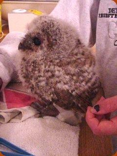 Tawny Owl Orphan