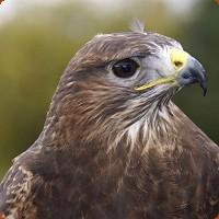 Injured Common Buzzard Released
