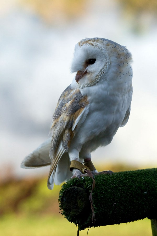 Barby the Barn Owl