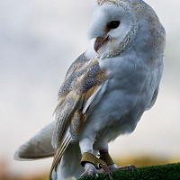 Save Britains Barn Owls