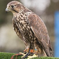 Preston Church Encourages Peregrine Falcon Watchers