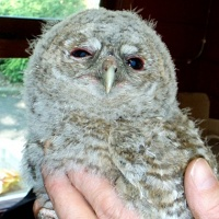Tawny Owl To Be Hand Reared