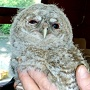 View Tawny Owl To Be Hand Reared