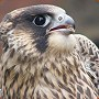 View Dealers' falcon chick plan is foiled