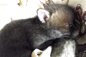 Todd Tokalu - Rescue Fox Cub