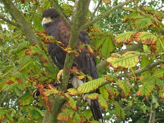 Young Male Harris Hawk
