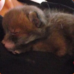 Personal Journal of Todd Tokalu - Our Rescue Fox