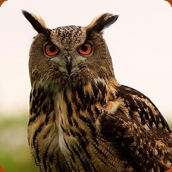 European Eagle Owl - Bubo Bubo