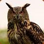 Eurasian Eagle Owl - Bubo Bubo