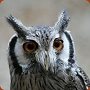 White Faced Scops Owl - Ptilopsis leucotis