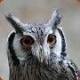 White Faced Scops Owl - Ptilopsis leucotis